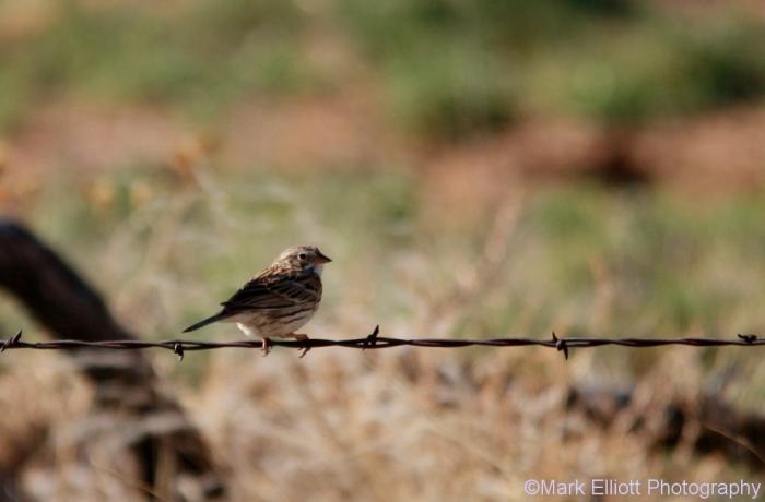vesper-sparrow-8-1024x673