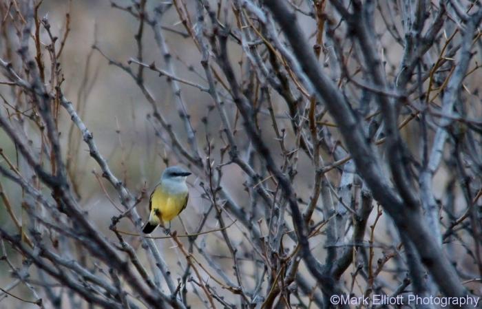 western-kingbird-64-1024x658