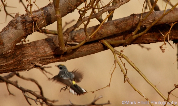 yellow-rumped-warbler-7-1024x614