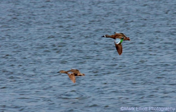 blue-winged-teal-32-1024x655