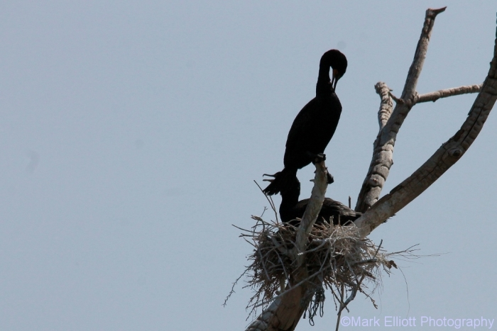 double-crested-cormorant-3-1024x684