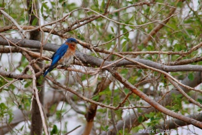 eastern-bluebird-5-1024x684