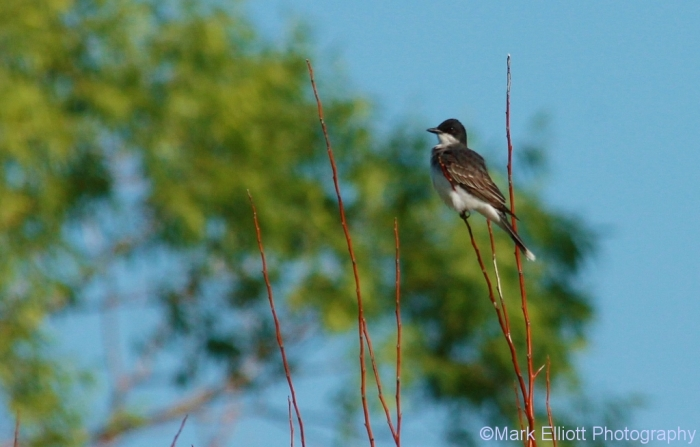 eastern-kingbird-23-1024x655