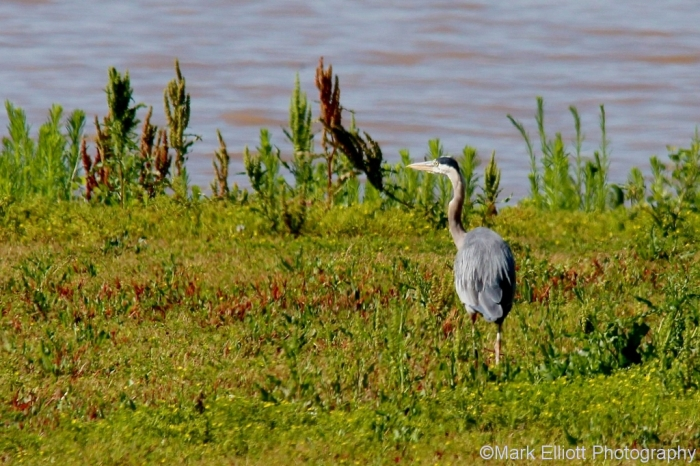 great-blue-heron-131-1024x682