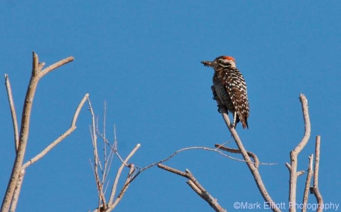 ladder-backed-woodpecker-125-1024x637