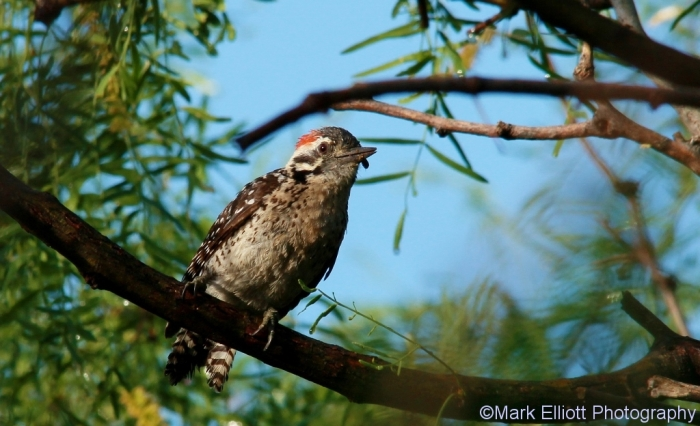 ladder-backed-woodpecker-127-1024x624