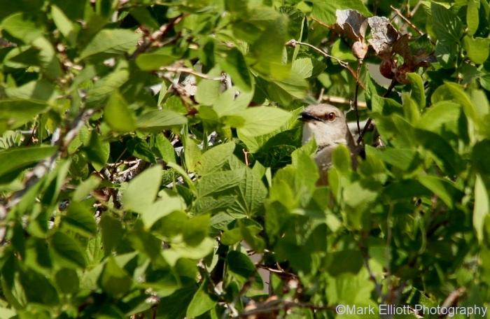 northern-mockingbird-68-1024x668