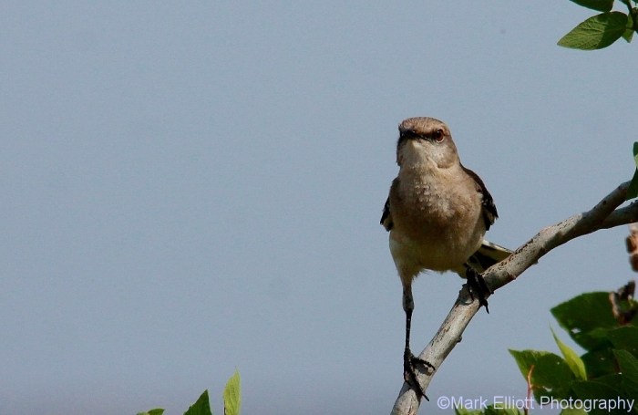 northern-mockingbird-72-1024x667