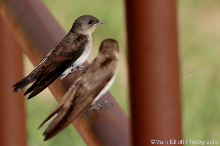 northern-rough-winged-swallow-18-1024x684