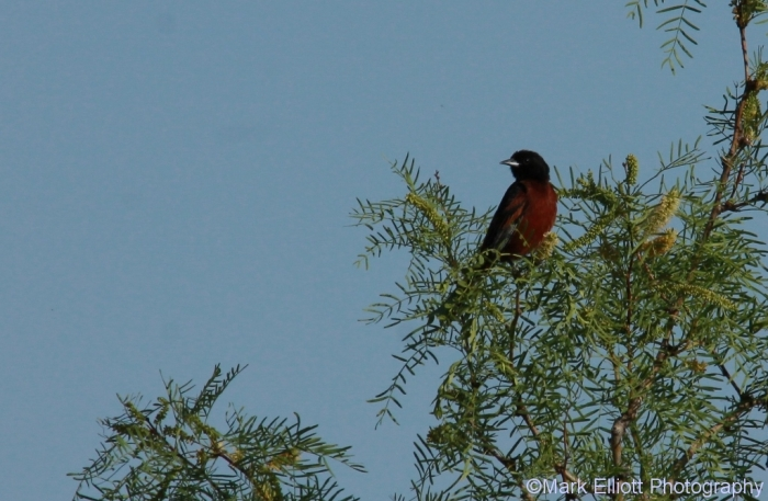 orchard-oriole-30-1024x669