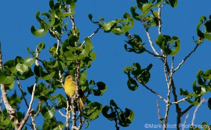 orchard-oriole-female-4-1024x634