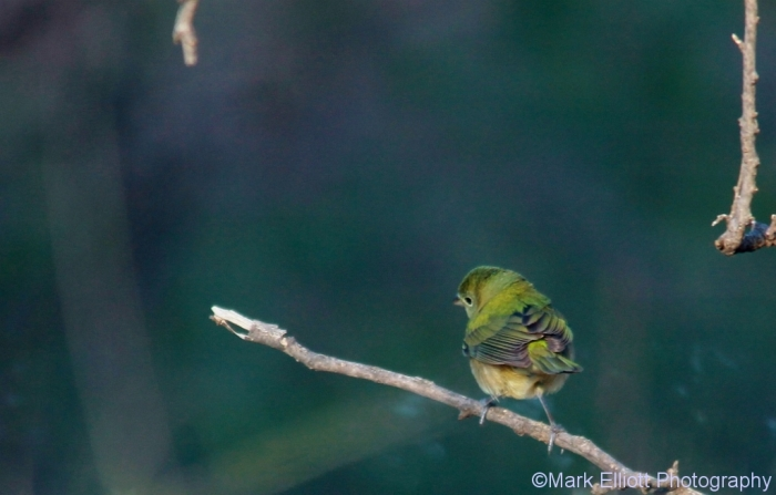 painted-bunting-female-1024x655