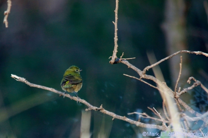 painted-bunting-female-2-1024x684