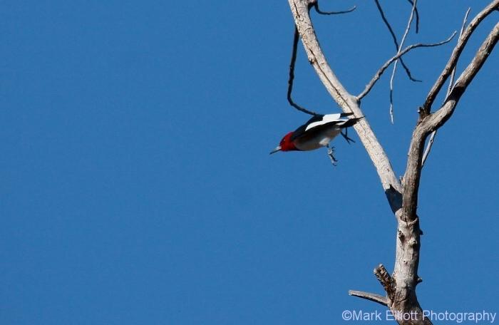 red-headed-woodpecker-78-1024x668