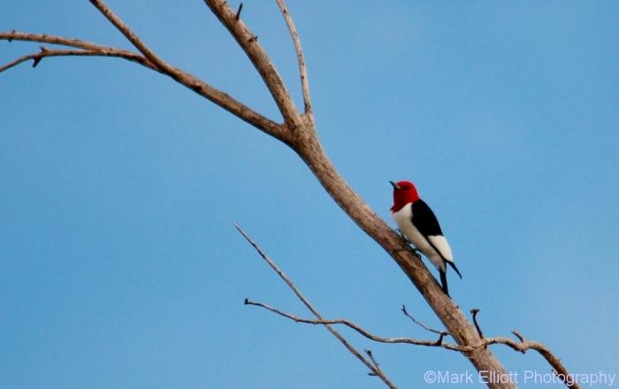 red-headed-woodpecker-79-1024x644