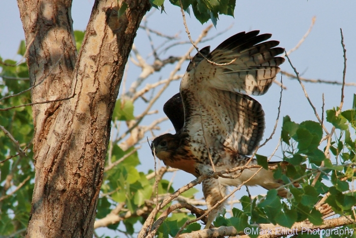 red-tailed-hawk-129-1024x684