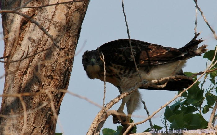red-tailed-hawk-132-1024x637