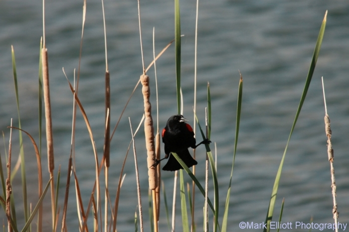 red-winged-blackbird-65-1024x683