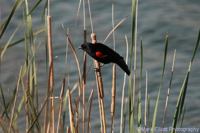 red-winged-blackbird-66-1024x683