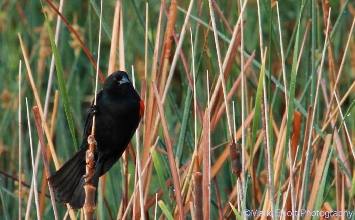 red-winged-blackbird-76-1024x635
