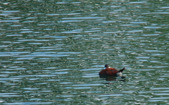 Ruddy Duck (15) (1024x639)