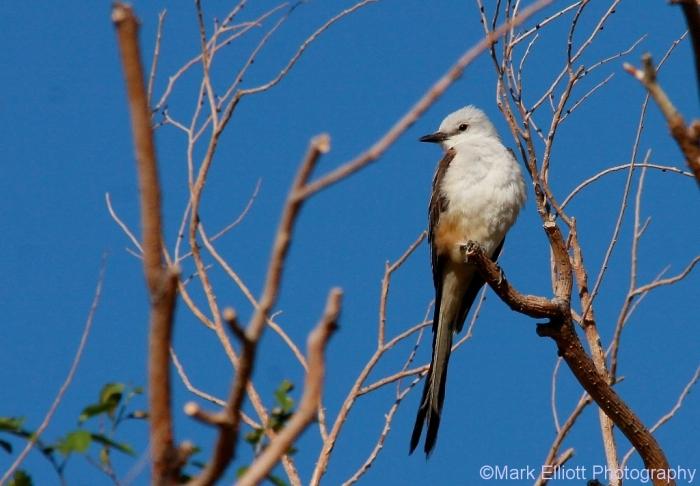 scissor-tailed-flycatcher-120-1024x712