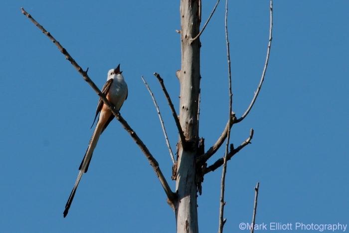 scissor-tailed-flycatcher-123-1024x684