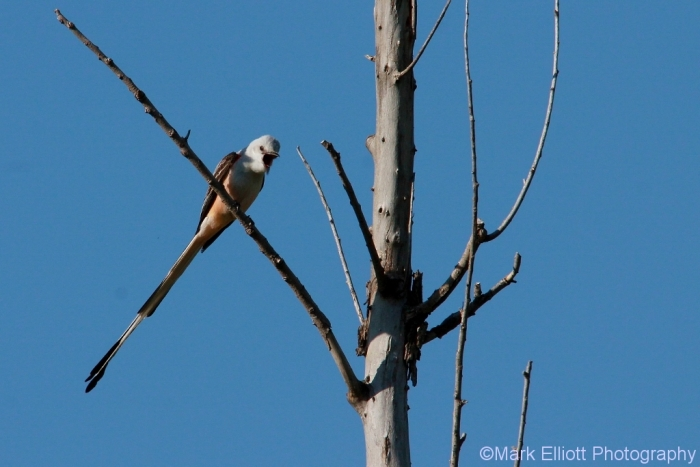 scissor-tailed-flycatcher-124-1024x684