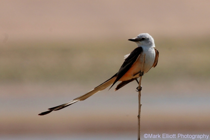 scissor-tailed-flycatcher-130-1024x684