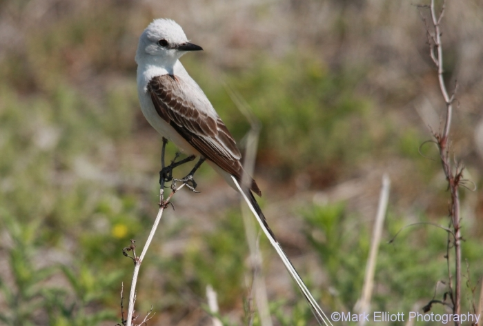 scissor-tailed-flycatcher-136-1024x693