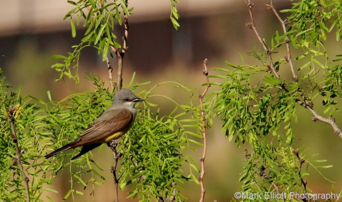 western-kingbird-68-1024x606