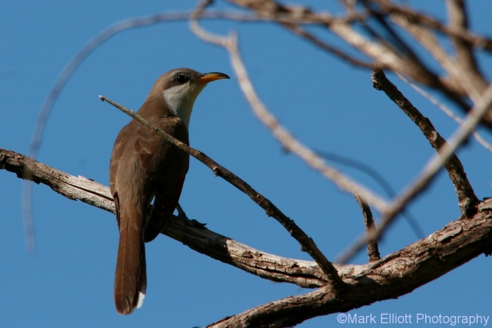 yellow-billed-cuckoo-6-1024x684