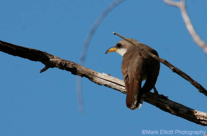 yellow-billed-cuckoo-9-1024x675