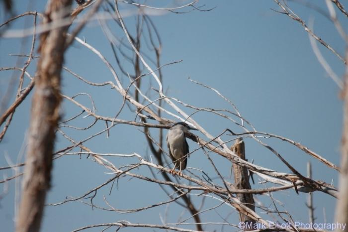 black-crowned-night-heron-11-1024x683
