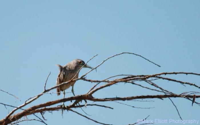 black-crowned-night-heron-16-1024x643