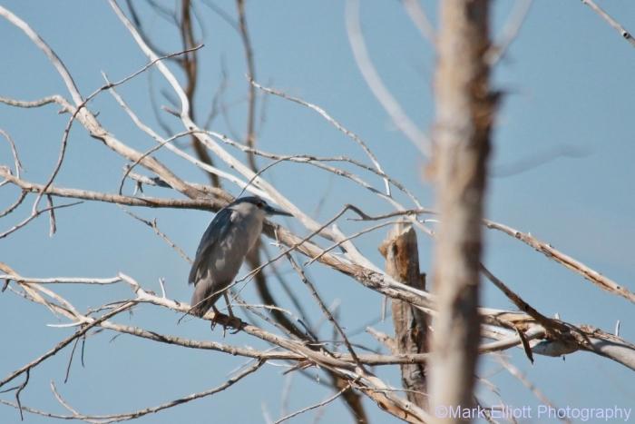 black-crowned-night-heron-4-1024x684