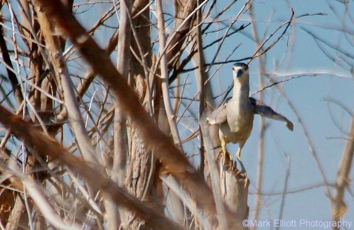black-crowned-night-heron-5-1024x666