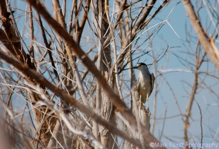 black-crowned-night-heron-6-1024x696