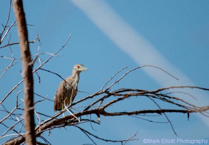black-crowned-night-heron-7-1024x711