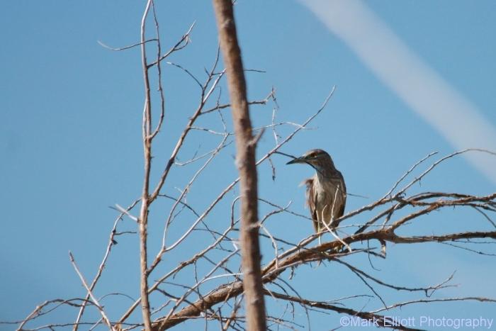 black-crowned-night-heron-8-1024x684