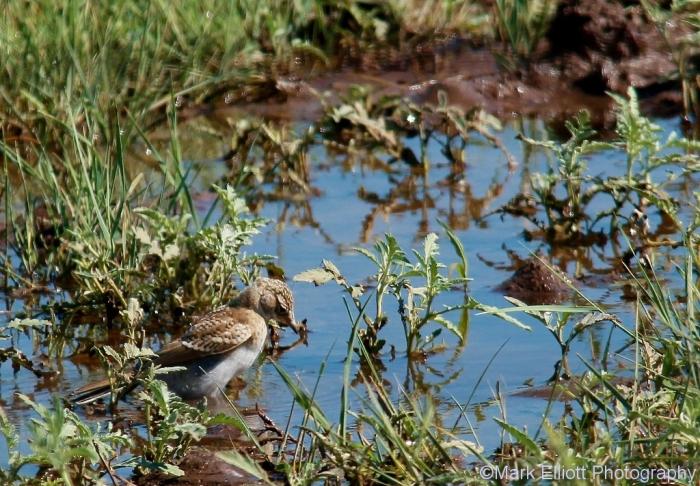 horned-lark-juvenile-2-1024x712