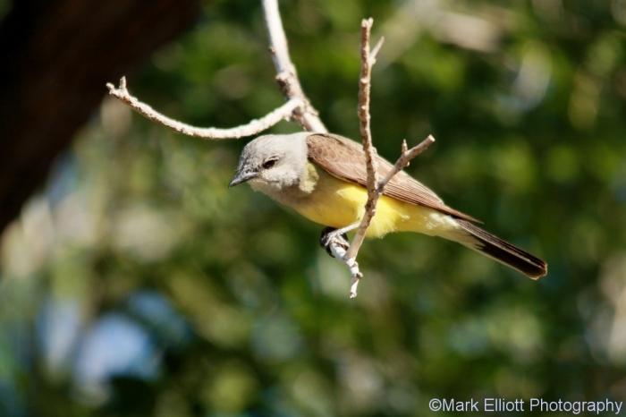 western-kingbird-70-1024x683