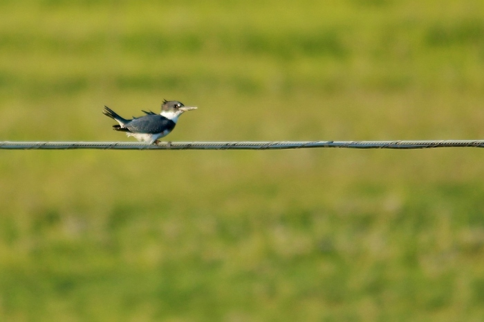 Belted Kingfisher (32) (1024x681)