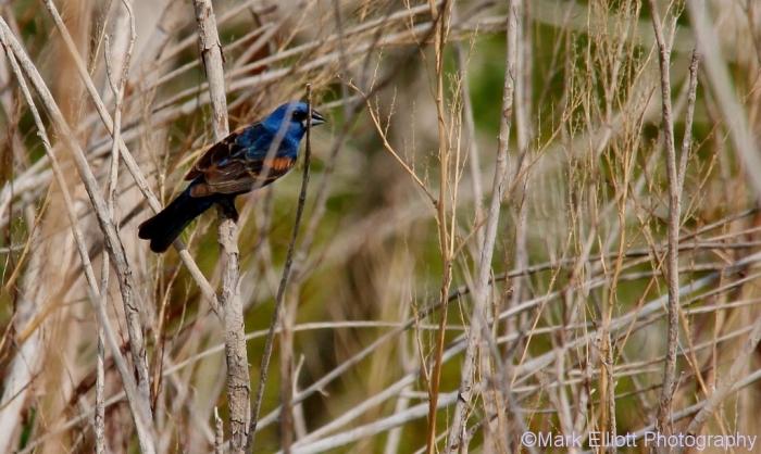 blue-grosbeak-68-1024x612