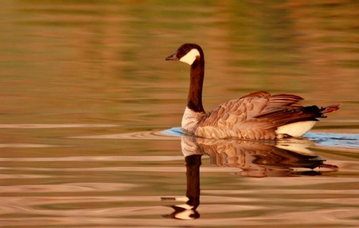 Canada Goose (12) (1024x651)