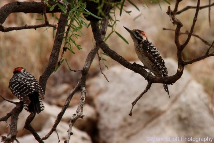 ladder-backed-woodpecker-131-1024x684