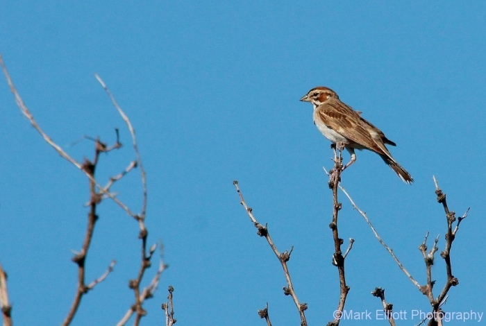 lark-sparrow-60-1024x689