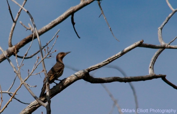 northern-flicker-yellow-shafted-1024x660