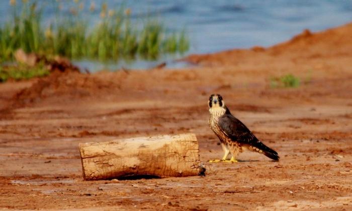 Peregrine Falcon (3) (1024x617)
