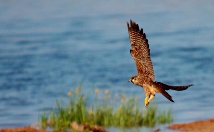 Peregrine Falcon (4) (1024x635)